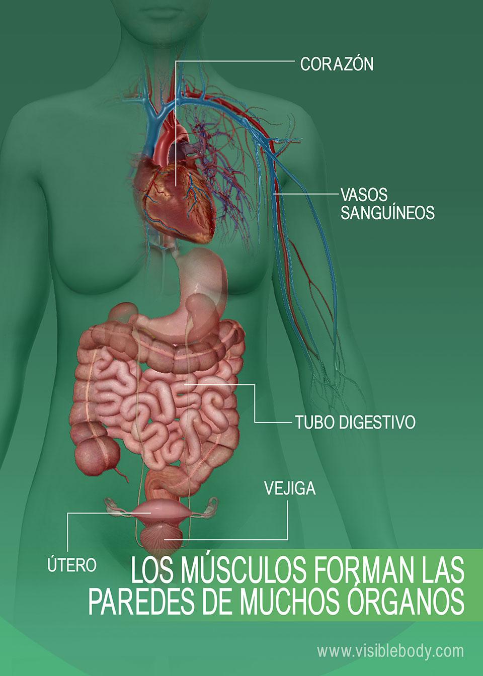 Reseña General Sobre Los Músculos Aprenda Anatomía Muscular