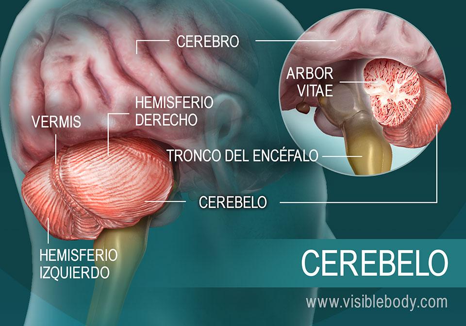 Diagrama de las partes del cerebelo