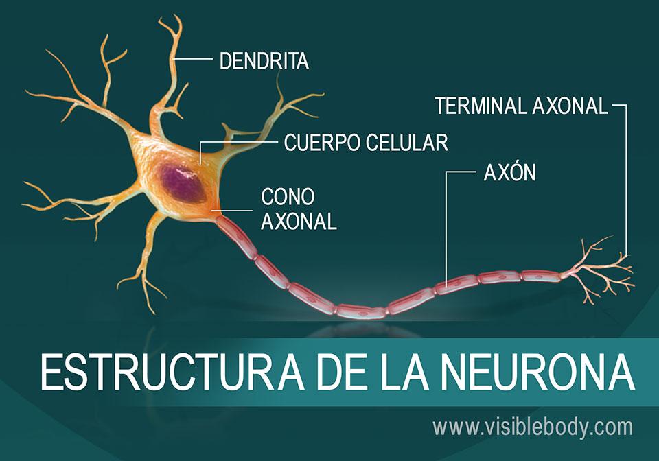 Diagrama de la estructura de una neurona