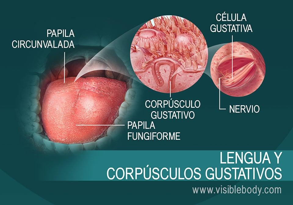 Diagrama de la lengua y de los corpúsculos gustativos