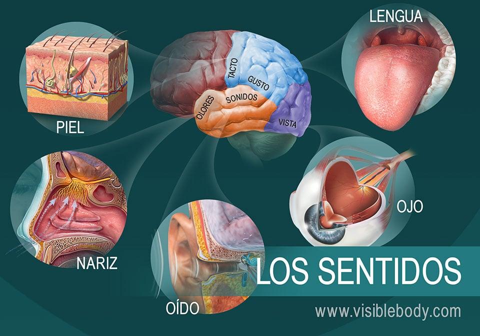 Diagrama de los cinco sentidos