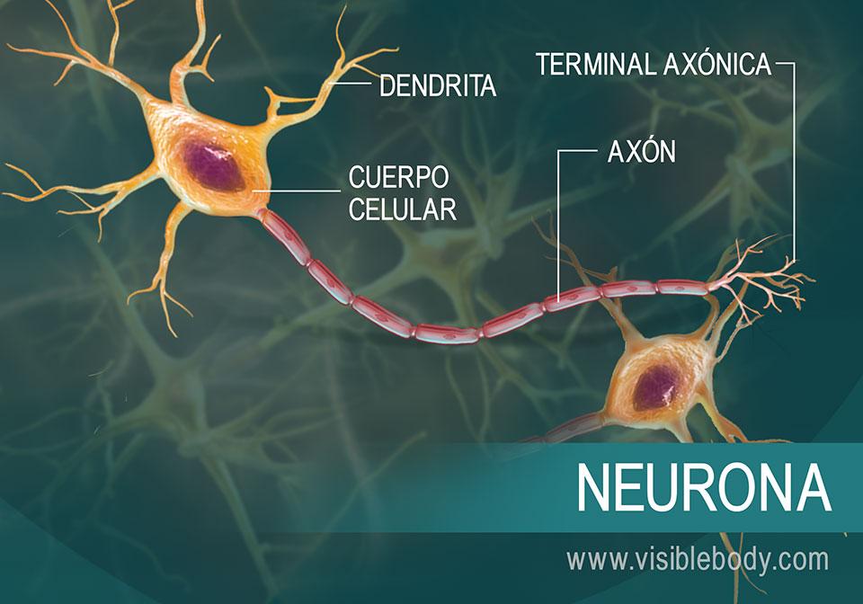 Reseña general de cómo las neuronas conducen mensajes en forma de señales eléctricas