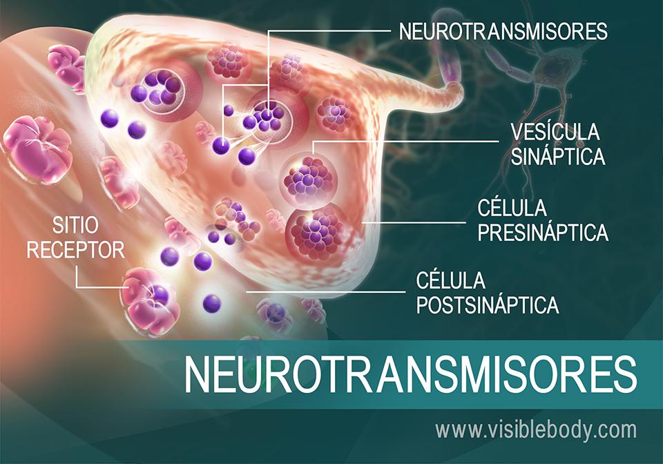 Reseña general de cómo los neurotransmisores se desplazan entre las sinapsis