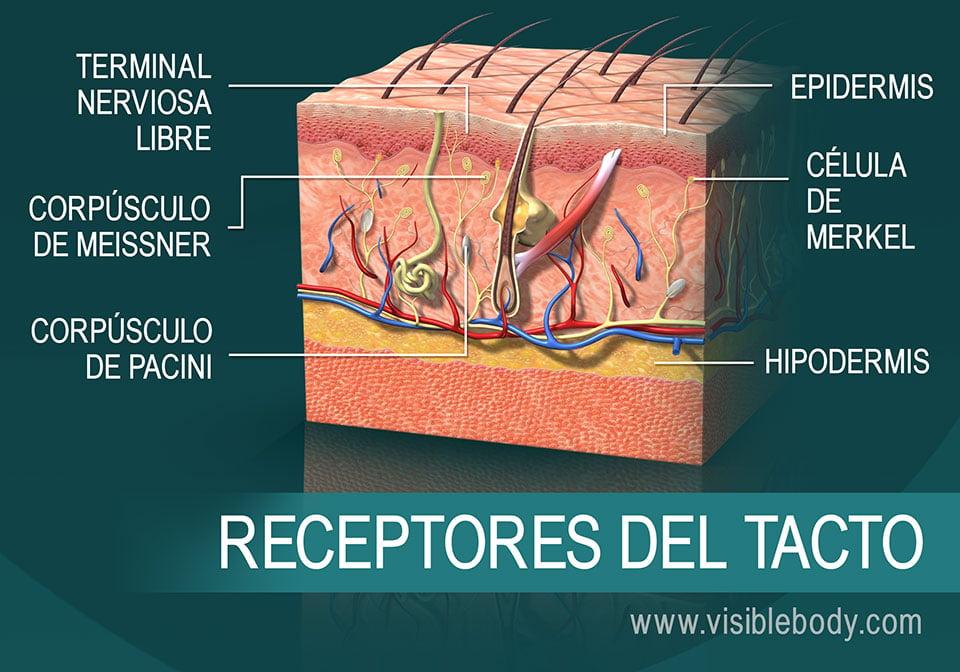 Corte transversal de la piel que muestra receptores del tacto