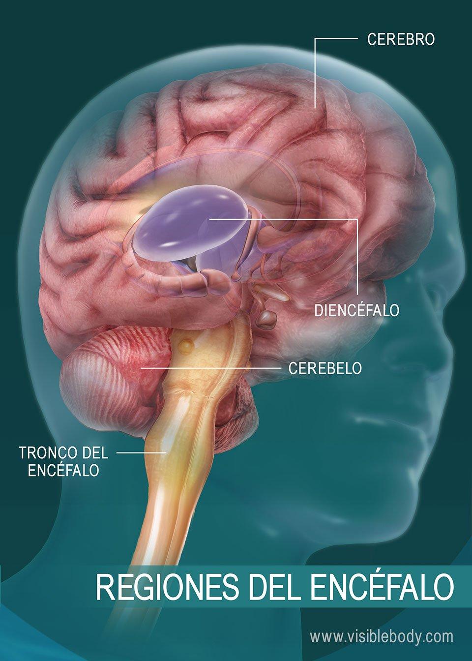 Diagrama de las regiones del encéfalo