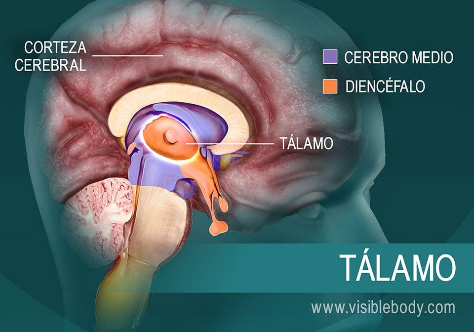 El tálamo y su ubicación en el encéfalo