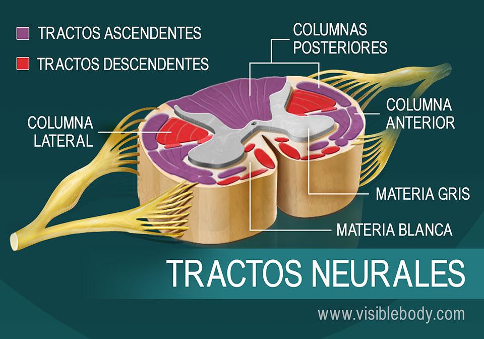 Diafragma de tractos neurales en la médula espinal
