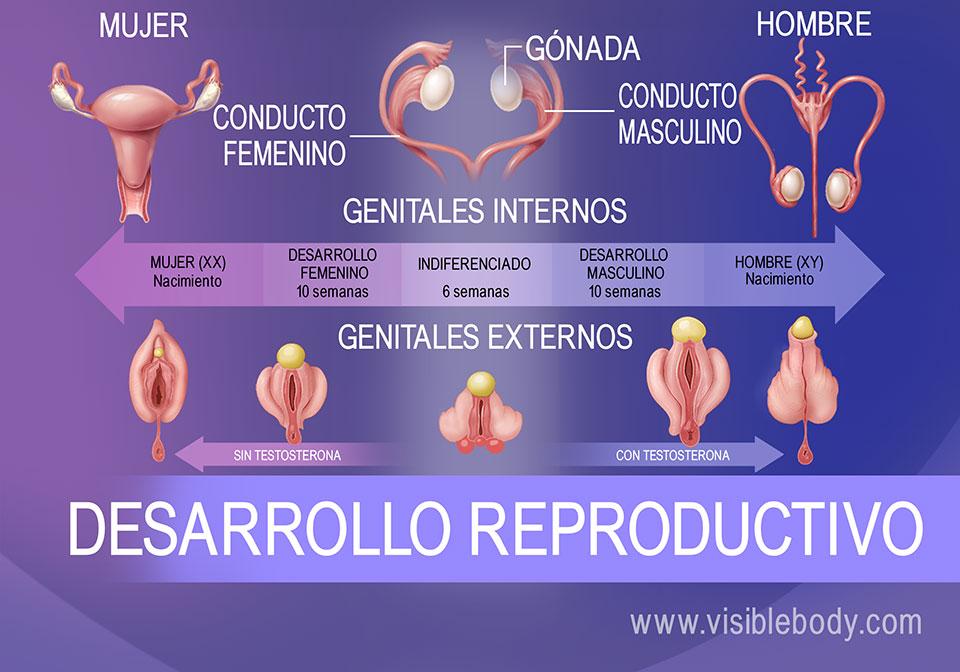 Diferenciación genital del feto