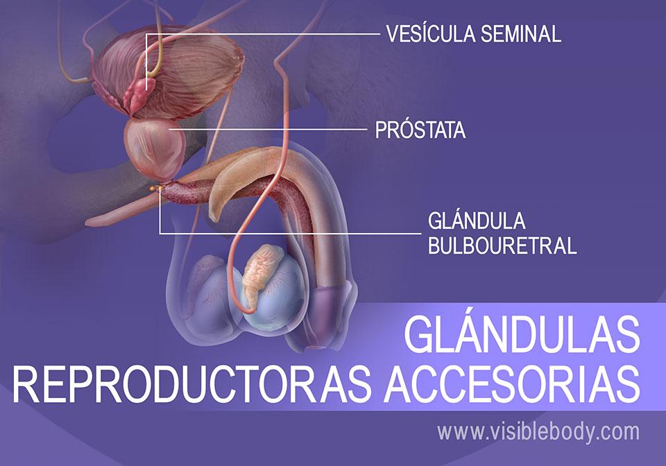 La vesícula seminal, la próstata y la glándula bulbouretral; glándulas reproductoras secundarias