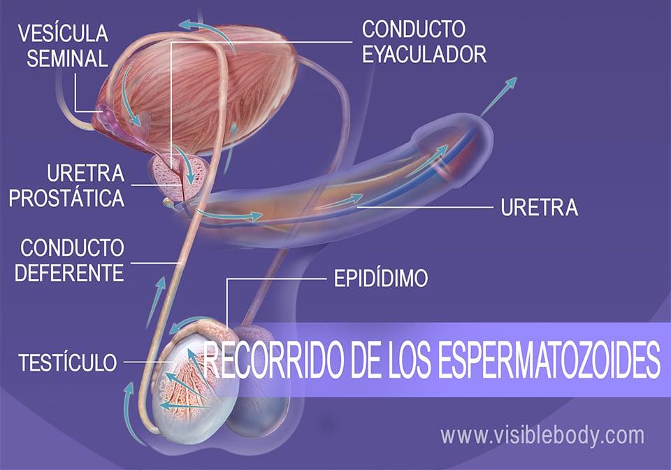 Recorrido de los espermatozoides desde los testículos hasta la uretra