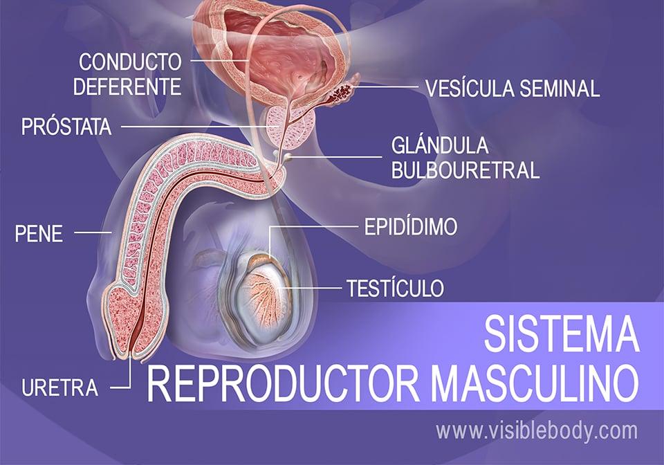 Estructuras del sistema reproductor masculino