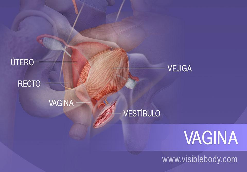 Sección interna del sistema reproductor femenino y la vejiga urinaria