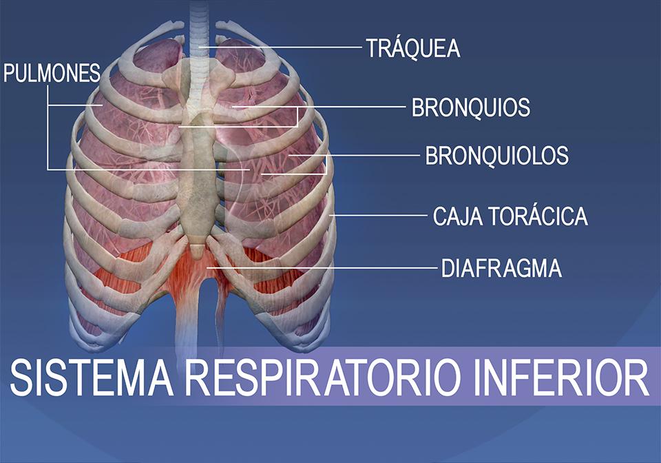 Las estructuras del sistema respiratorio inferior consisten en la tráquea, los bronquios, los bronquiolos, la caja torácica, los pulmones y el diafragma