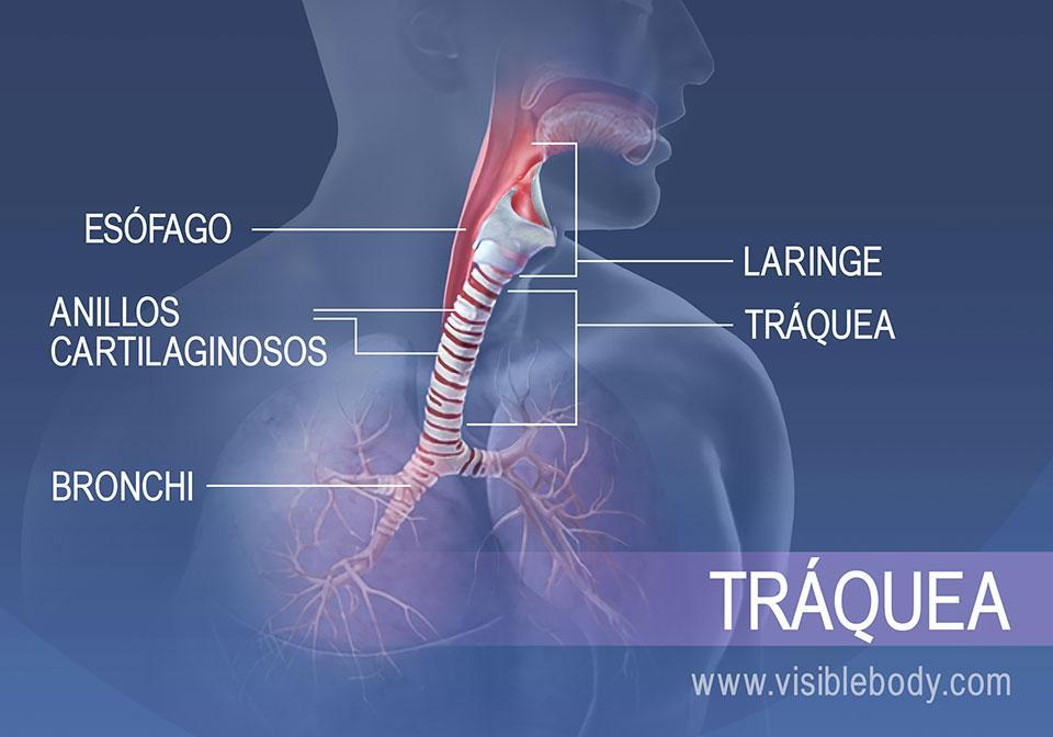 Las estructuras en la región traqueal incluyen el esófago, la laringe, los anillos cartilaginosos y los bronquios