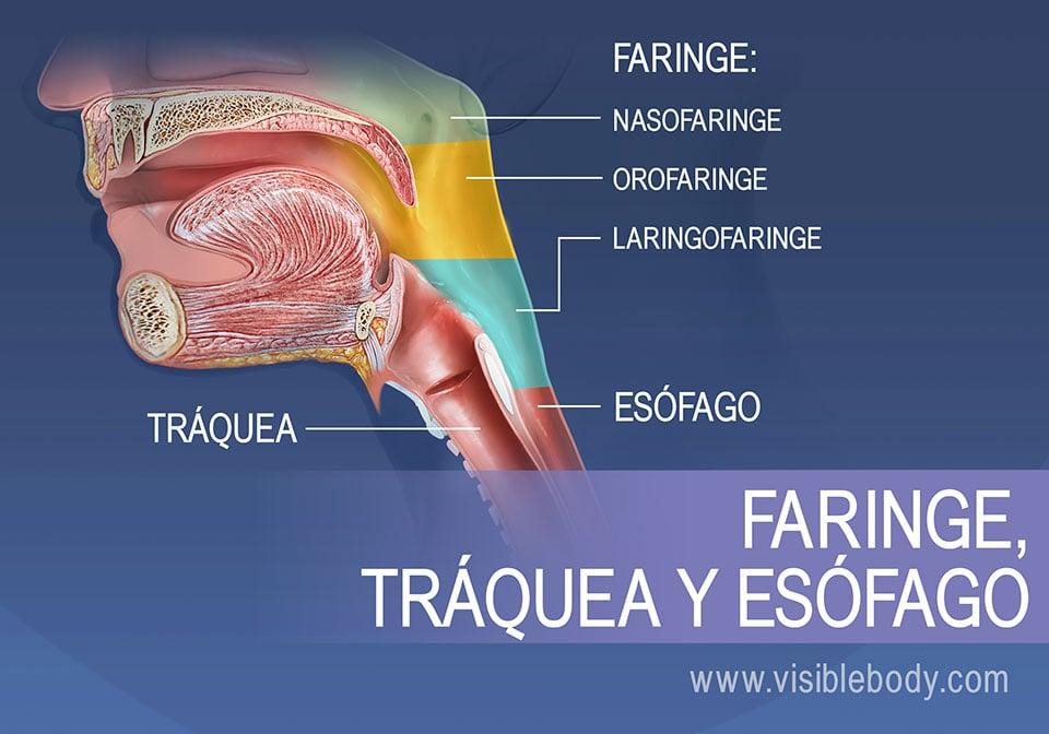 Las regiones de la faringe se pueden dividir en nasofaringe, orofaringe y laringofaringe