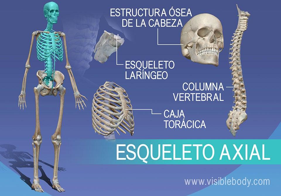 El esqueleto axial está compuesto por las vértebras, los huesos del tórax y la laringe, y la estructura ósea de la cabeza