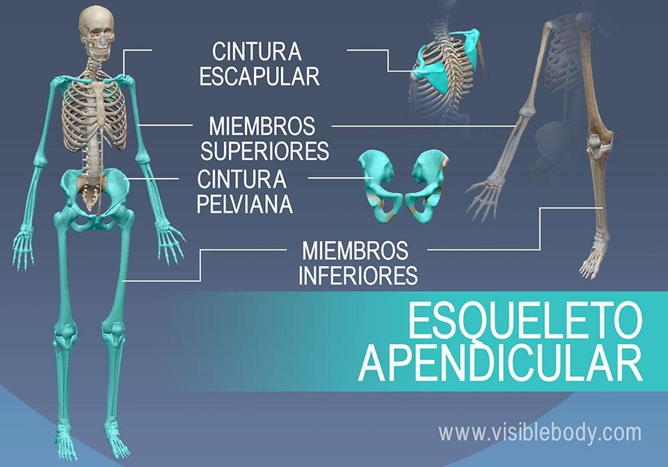 El esqueleto apendicular está formado por los hombros y la pelvis, además de los brazos y las piernas