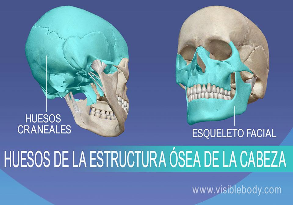 Huesos del cráneo y esqueleto facial