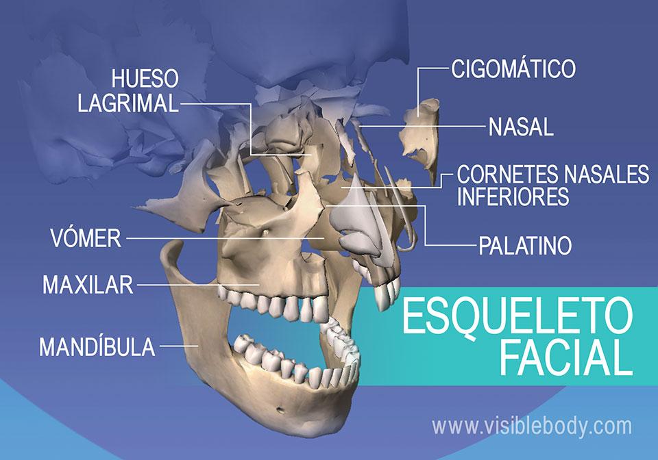 Huesos de la cara: Lagrimal, cigomático, maxilar y mandíbula