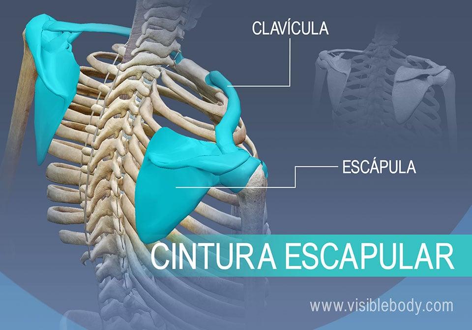 Huesos de la cintura escapular