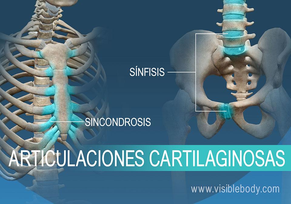 Sincondrosis y sínfisis, dos tipos de articulaciones cartilaginosas
