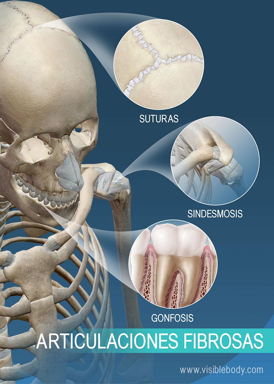 Suturas, sindesmosis y gonfosis: articulaciones fibrosas