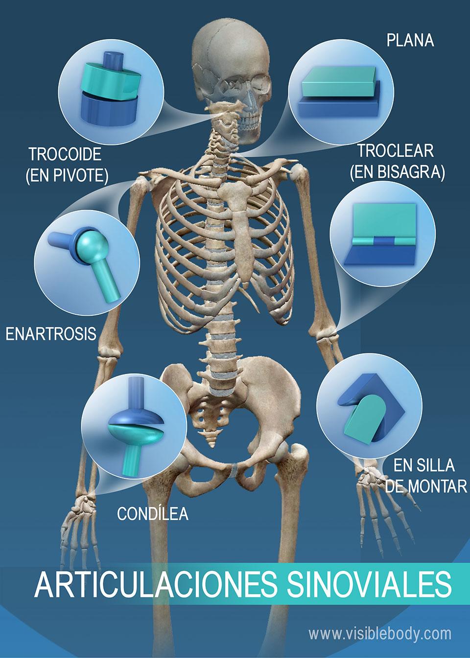 Rango de movimiento en las articulaciones sinoviales: trocoide (en pivote), enartrosis, condílea, en silla de montar, troclear (en bisagra) y plana