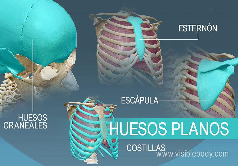 Ejemplo de cuatro tipos de huesos planos