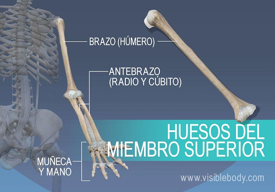 El húmero, el radio, el cúbito y los huesos de la muñeca y la mano