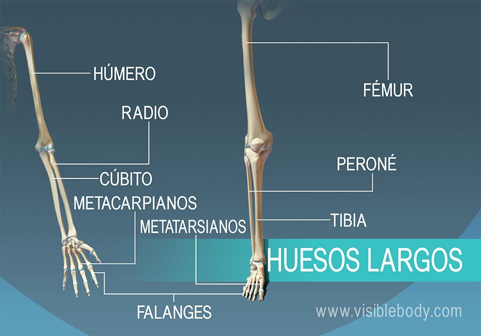 Ejemplos de 9 huesos largos en el cuerpo