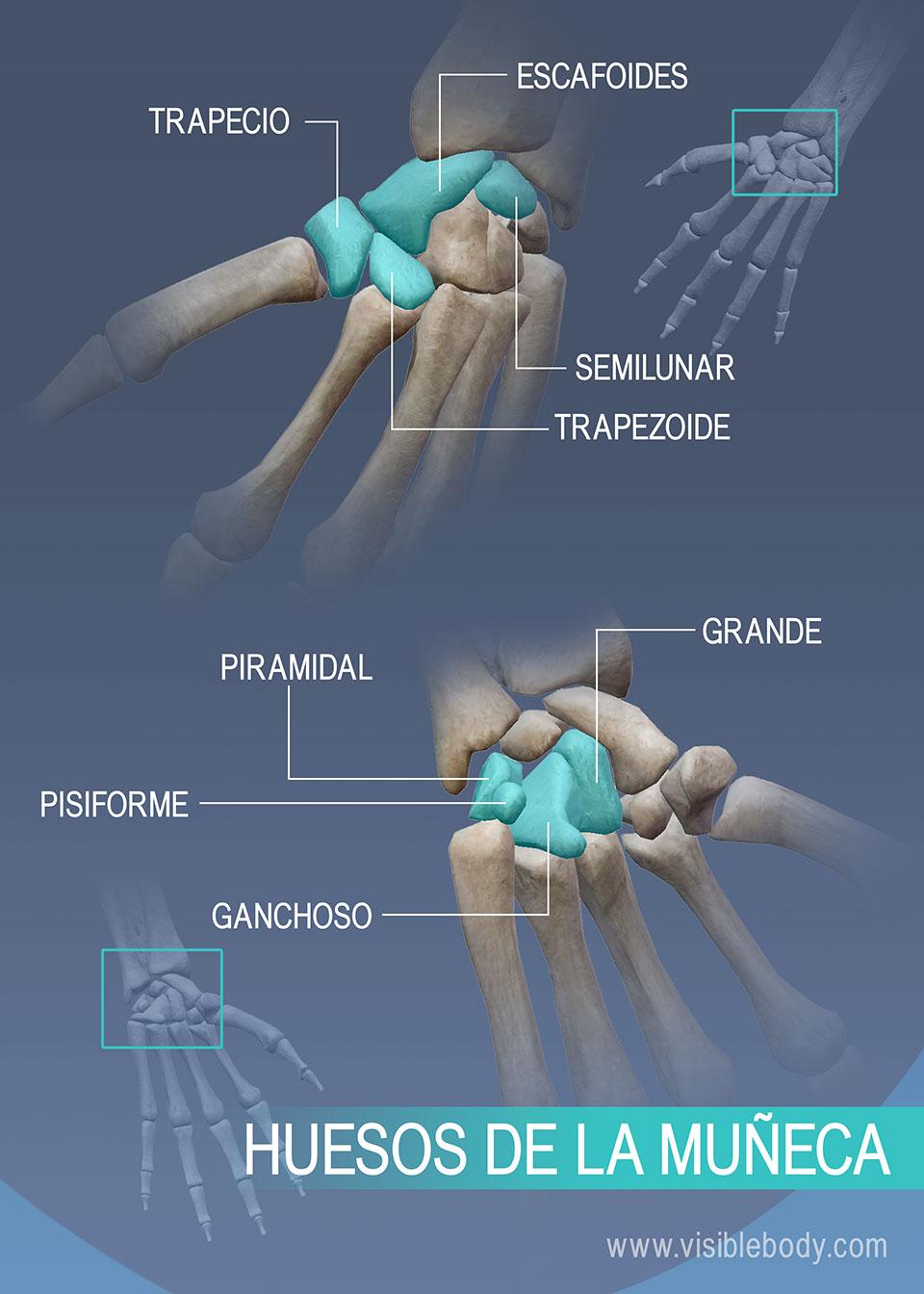 Trapecio, escafoides, semilunar, trapezoide, hueso grande, piramidal, pisiforme y ganchoso Huesos de la muñeca