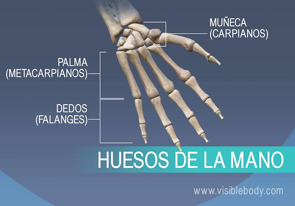 Huesos de la mano, metacarpianos, falanges proximales, medias y distales