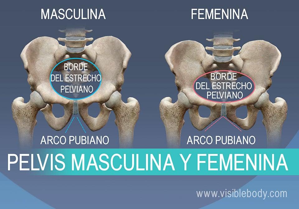 Diferencia entre el borde pubiano y el arco pubiano en los varones y las mujeres