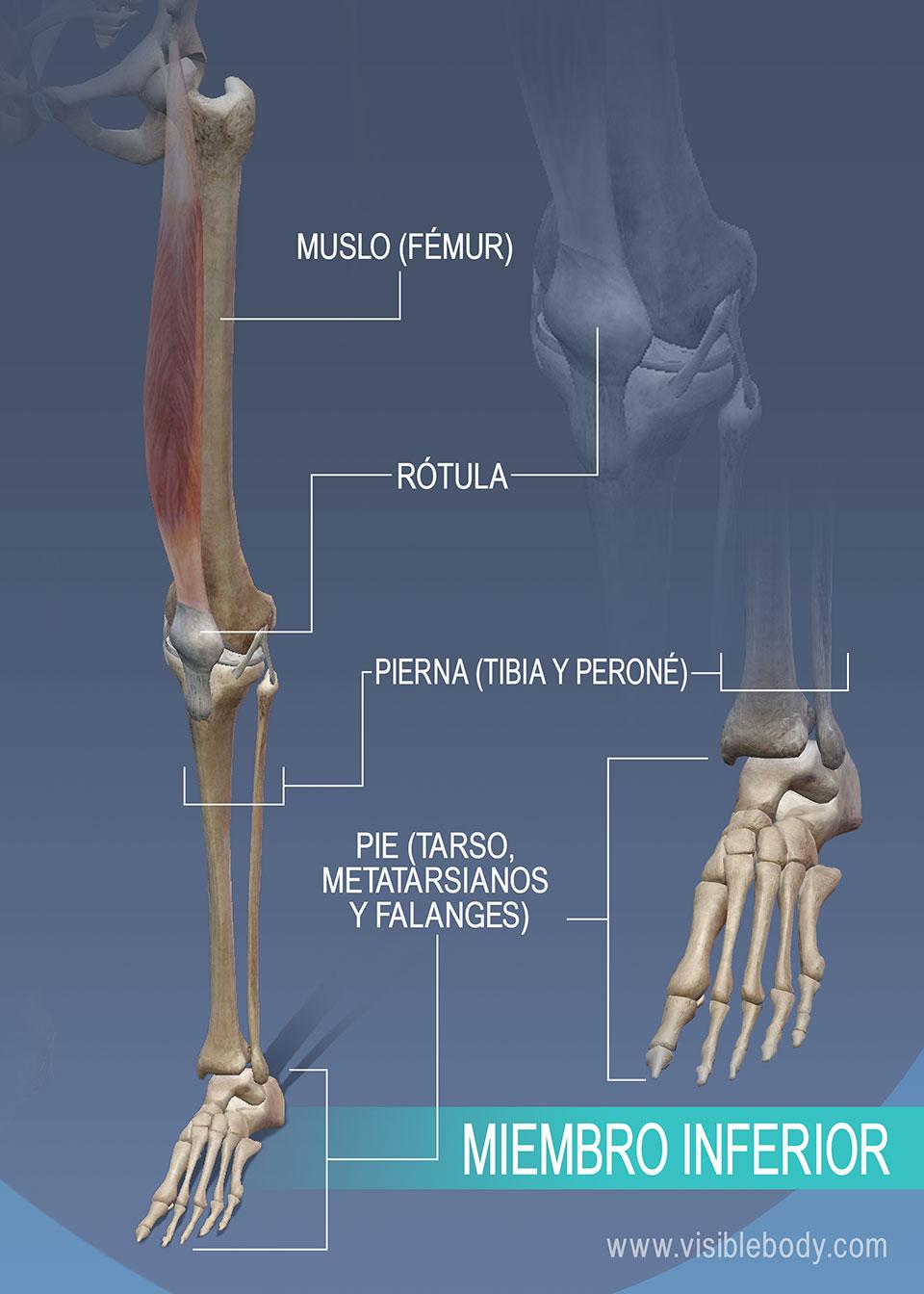 Huesos del muslo, la pierna y el tobillo en el miembro inferior