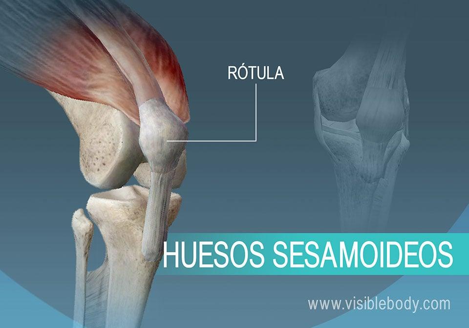 Un hueso sesamoideo del cuerpo, la rótula