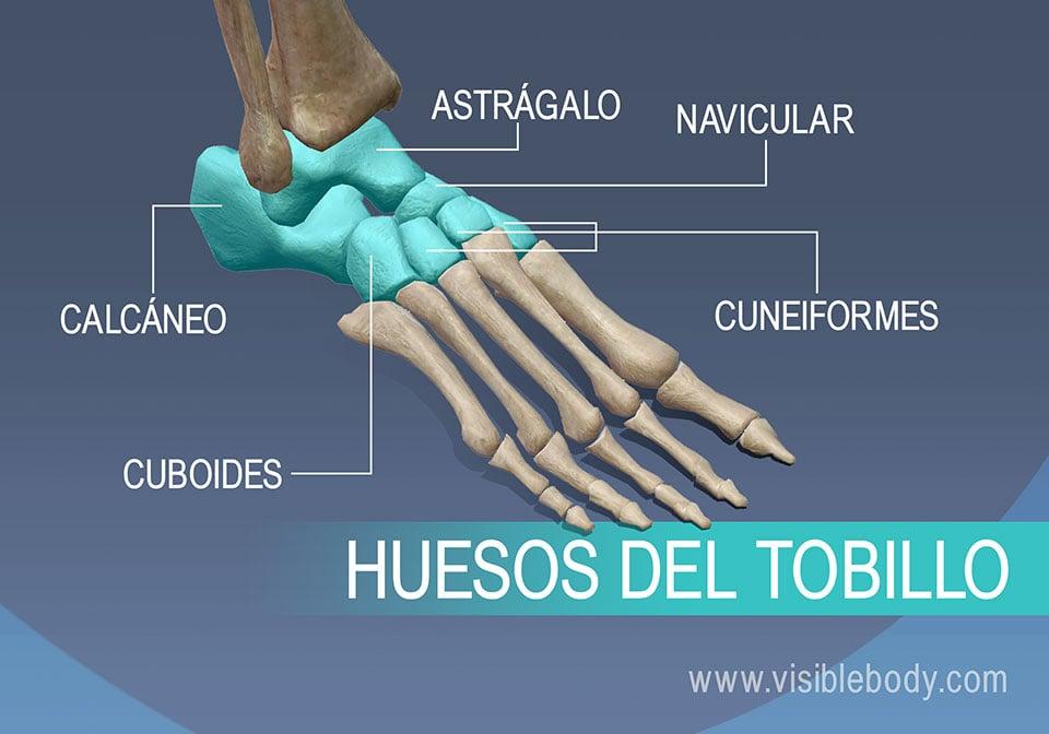 Huesos del tobillo, astrágalo, navicular, cuneiformes, calcáneo y cuboides