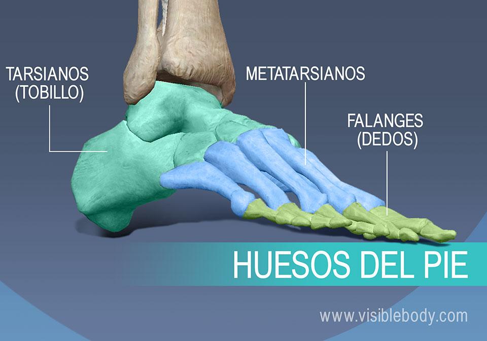 Huesos del pie, metatarsianos, falanges proximales, medias y distales Huesos del pie