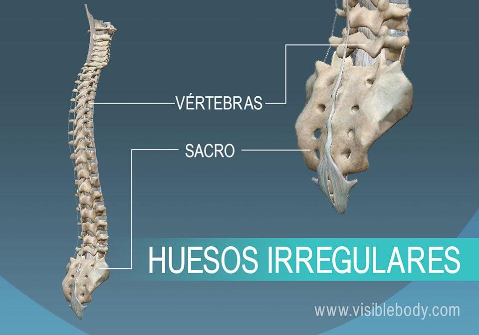 Las vértebras y la pelvis, ejemplos de huesos irregulares del cuerpo humano