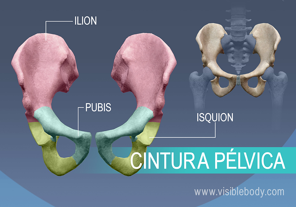 Huesos de la cadera, el ilion, el pubis y el isquion