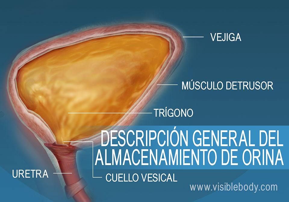 Corte transversal de la vejiga urinaria que muestra el cuello, el detrusor, el trígono y la uretra