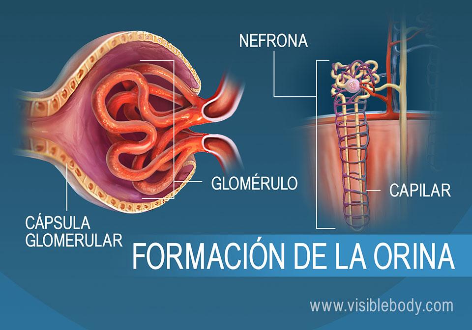 Corte transversal del glomérulo, una estructura de la nefrona