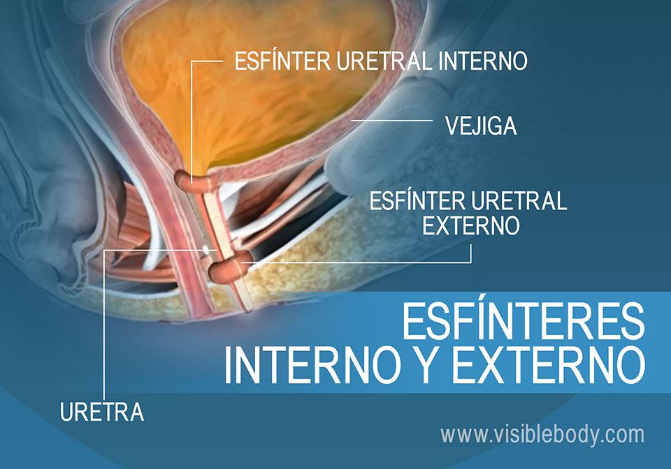Esfínteres uretrales externo e interno de la vejiga