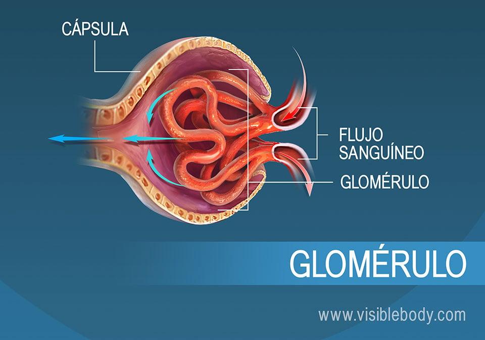 Flujo de sangre por el glomérulo como parte de la filtración