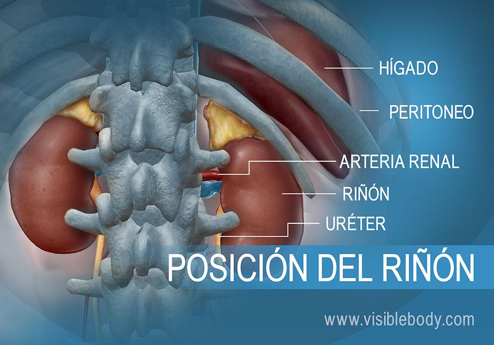 Riñón y uréteres en relación con el hígado en el abdomen