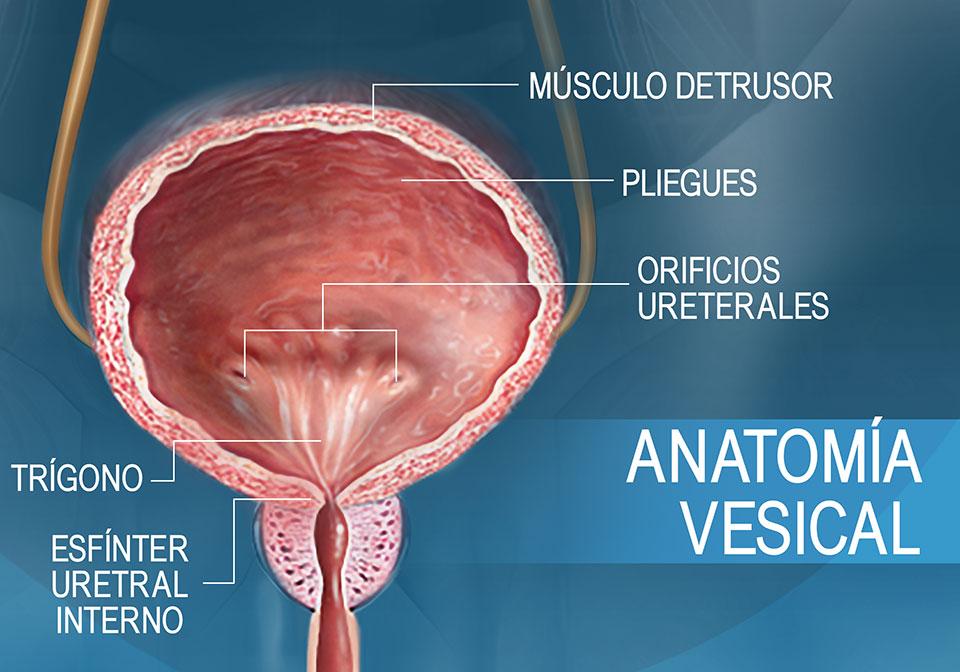 Corte transversal frontal que muestra la anatomía de la vejiga
