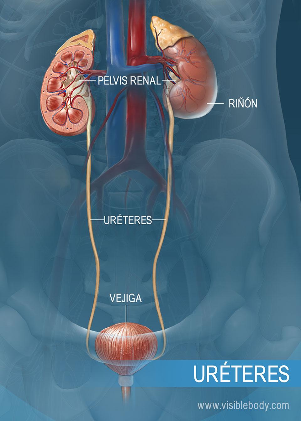 Uréter que va de los riñones a la vejiga urinaria