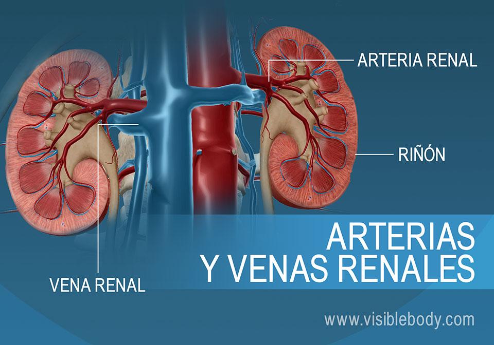 La sangre entra y sale de los riñones a través de las arterias y venas renales