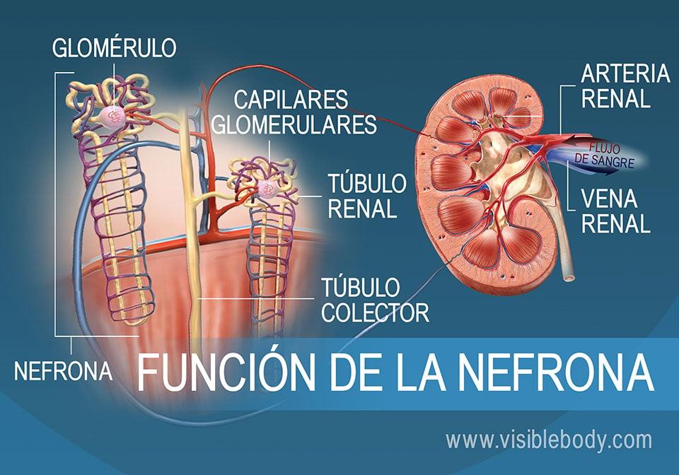 Anatomía y función de la nefrona, que muestra los túbulos de la nefrona, las pirámides renales y la corteza renal