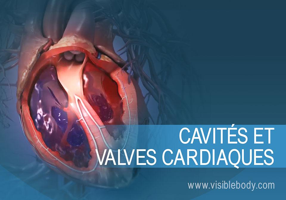 Sang circulant dans les cavités et les valves du cœur
