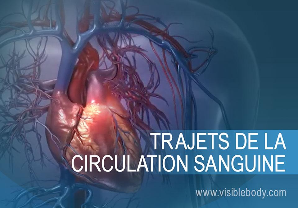 Le cœur dans la circulation pulmonaire et systémique